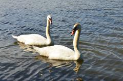 two big swans - stock photo