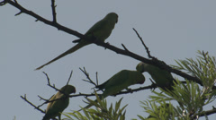 P03485 Rose-ringed Parakeets in India Stock Footage