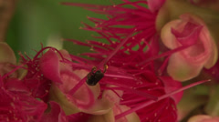 South american stingless bee in red flower Stock Footage