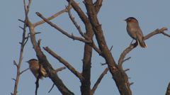 P03492 Brahminy Starling Bird in India Stock Footage