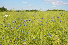 cornflower blue fields - stock photo