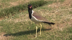P03484 Red-wattled Lapwing Bird in India Stock Footage