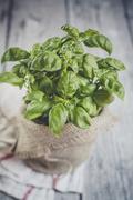 Basil, Ocimum basilicum, sort Genovese, in a plant pot Stock Photos