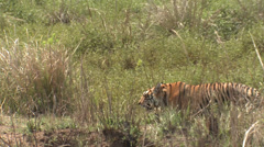 P03480 Hidden Tiger Walking Through Grass Stock Footage