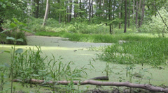 Stock Video Footage of Marshland, swamp in the old forest 1