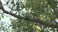 P03490 Rose-ringed Parakeet Green Bird in India Stock Footage