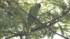 P03486 Green Rose-ringed Parakeet in India Stock Footage
