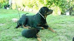 Rottweiler dog in courtyard grass Stock Footage