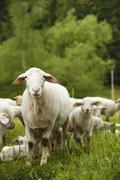Domestic sheep, Ovis orientalis aries, and lambs on meadow Kuvituskuvat