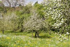 Apple trees, Malus domestica Stock Photos