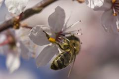 Honey bee, Apis, collecting pollen from flowers - stock photo