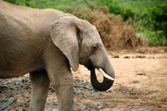 Elephant in Addo Park - stock photo