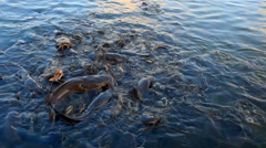 Catfish feeding in the pond Stock Footage
