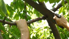 Man Cut Away Diseased Branch Stock Footage
