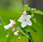 Stock Photo of apple blossom