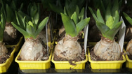Stock Video Footage of hyacinth bulbs for sale