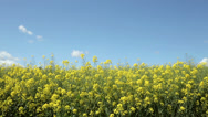 Stock Video Footage of yellow oil seed rape field against blue sky