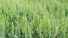 Wheat plants wawing on wind Stock Footage