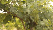 Stock Video Footage of Winery Grapes red wine vinedresser winepress israel wine lifestyle winery