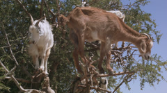 Goats standing on an argan tree, Morocco Stock Footage