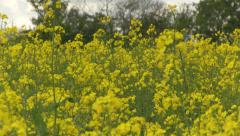 Oilseed Rape field with bee, spring - stock footage