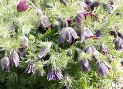 Pasque flower (pulsatilla vulgaris) Stock Photos