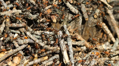 Ants colony working on the ant hill Stock Footage