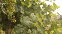 Winery Grapes red wine vinedresser winepress israel wine lifestyle winery Stock Footage