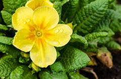 Detail of yellow primrose on flower bed. Stock Photos