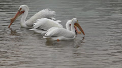 P03611 White Pelicans Feeding with Bill Filmed in 4K Stock Footage