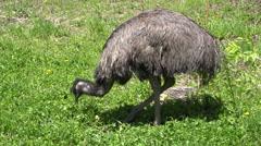 P03606 Flightless Emu Bird Feeding Filmed in 4k Stock Footage