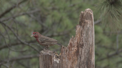 P03603 Red Crossbill Songbird at Dusk in 4K Stock Footage