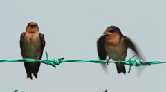 Barn Swallow on The Fence Stock Footage