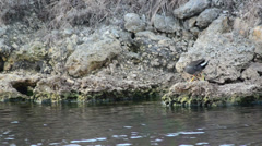 Common gallinule (gallinula galeata) moving around rocks on the riverside Stock Footage