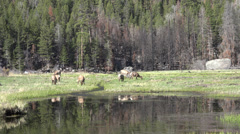 P03624 Elk Herd Feeding at Wetland at Rocky Mountain National Park Stock Footage