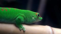 Madagascar Day Gecko (Phelsuma madagascariensis). Stock Footage