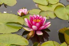 Waterlily in garden pond Stock Photos