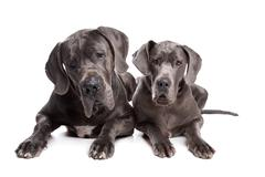 Two grey great Dane dogs - stock photo