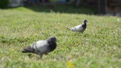 Male rock pigeon (columba livia) jumping on green grass Stock Footage