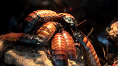 Madagascar hissing cockroachs. Stock Footage