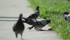 Muscovy duck (cairina moschata) and rock pigeon (columba livia) and other bir Stock Footage
