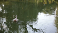 Stock Video Footage of duck on the lake close view 3