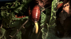 Birth the young nymphs of the Madagascar hissing cockroach. Stock Footage