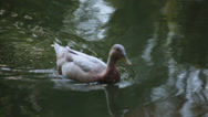 Stock Video Footage of duck on the lake close view