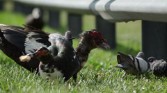 Muscovy duck (cairina moschata) struggling for a piece of bread Stock Footage