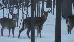 White Tail Bucks Run in the Snow Stock Footage