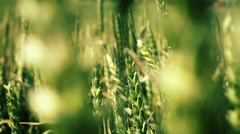 Green wheat sways in the wind. Close up. Stock Footage