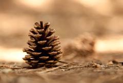 Stock Photo of pine cone
