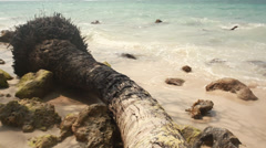 Fallen palm tree on the beach Stock Footage