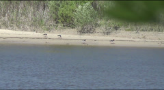 Oystercatcher on the riverbank Stock Footage